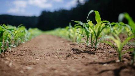 Zadbaj o swoje uprawy kukurydzy stosując odpowiednią ochronę